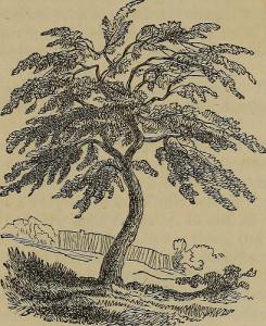 acacia Arabica tree